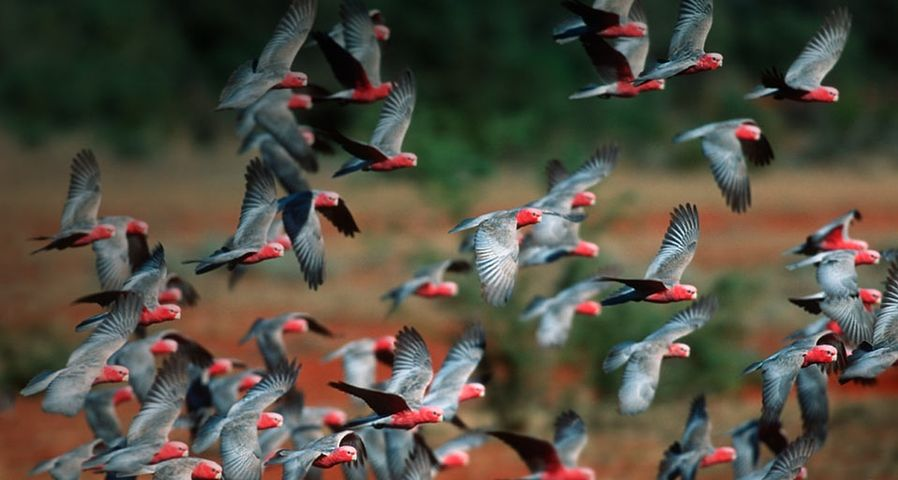 「モモイロインコの群れ」オーストラリア