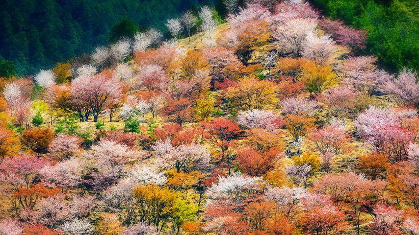 「吉野の千本桜」奈良