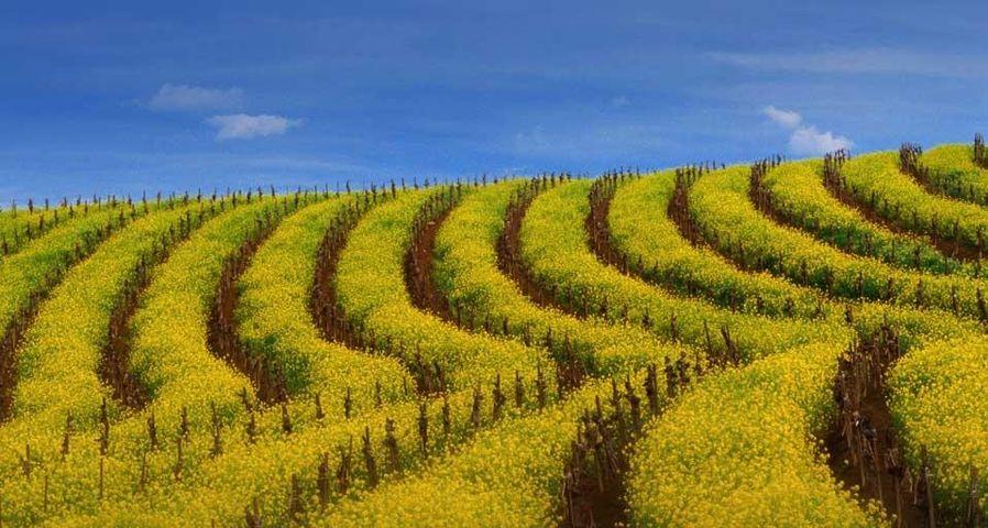 「マスタード畑」アメリカ, カリフォルニア