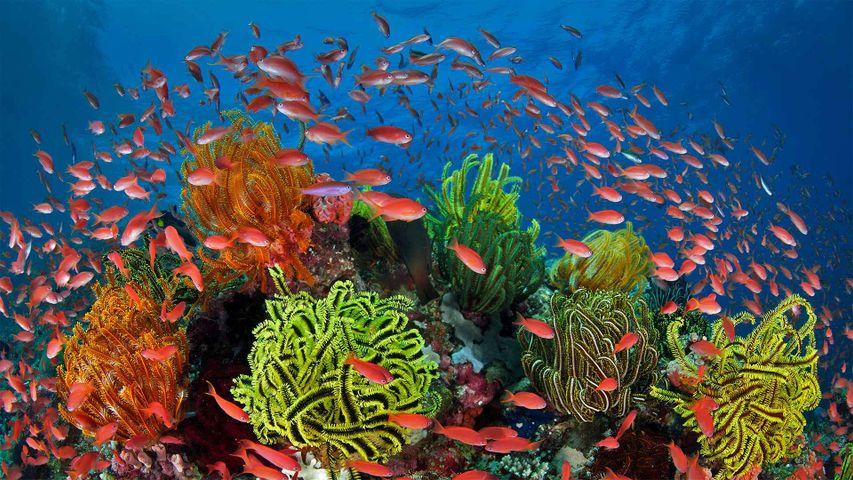 「サンゴとウミユリとキンギョハナダイ」オーストラリア, グレートバリアリーフ