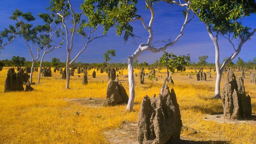 「アリ塚とユーカリ」オーストラリア, クイーンズランド州