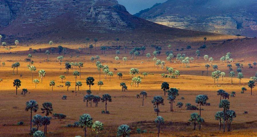 「ヤシの群生するサバンナ」マダガスカル