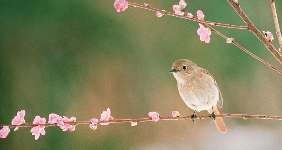 「ジョウビタキと桃の花」
