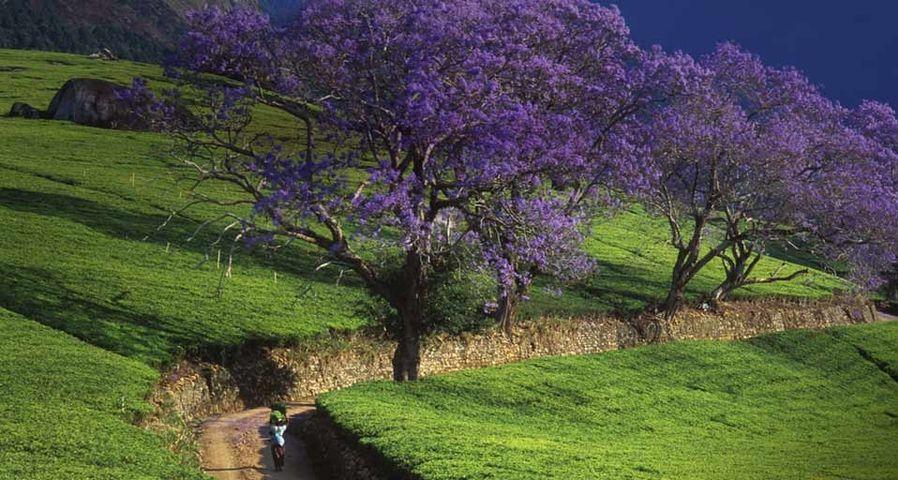 「ジャカランダの花」マラウイ共和国