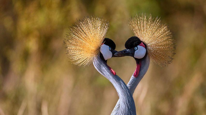 「ホオジロカンムリヅルのつがい」マサイマラ国立保護区