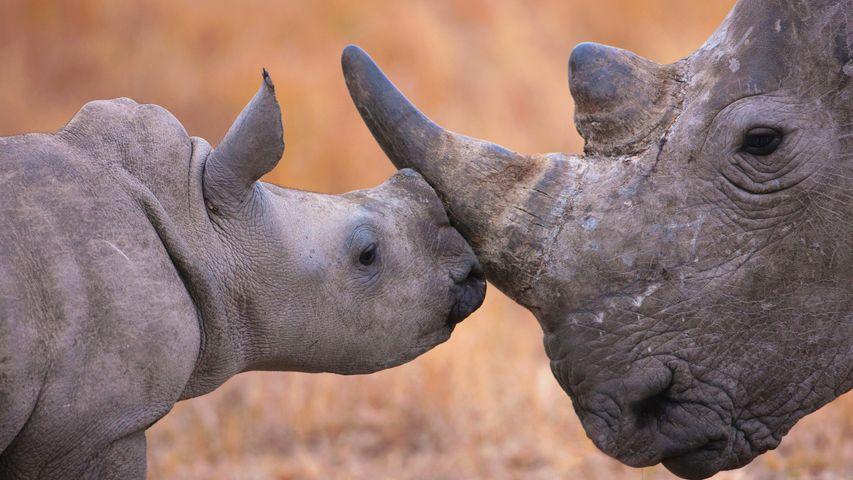 「シュシュルウェイムフォロジ動物保護区のシロサイの親子」南アフリカ