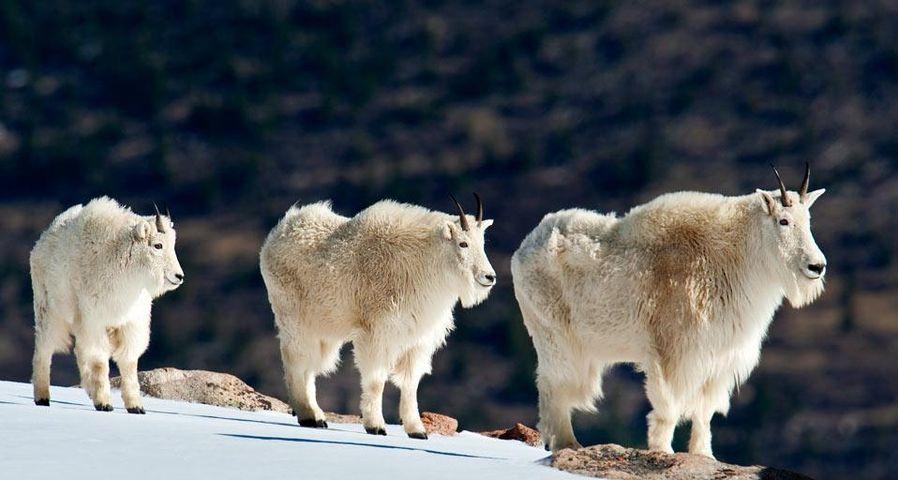 「シロイワヤギ」アメリカ, コロラド州, ロッキー山脈