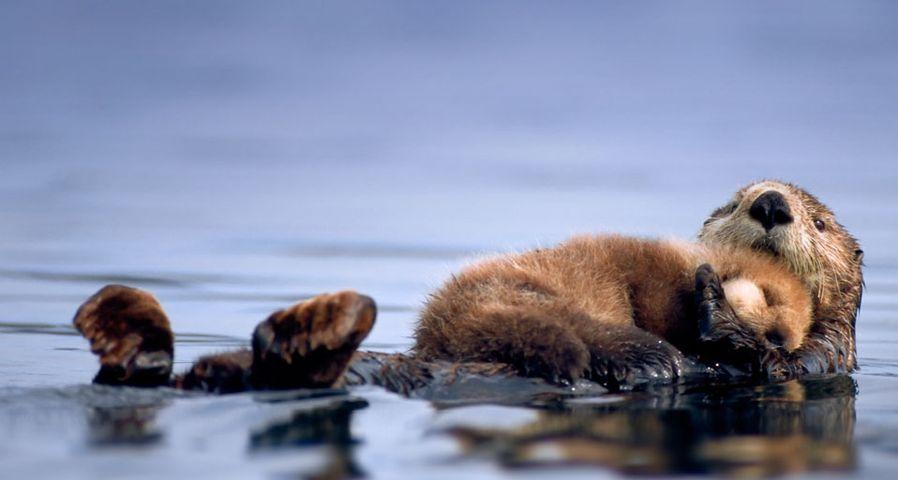 「ラッコのお母さんと子供」アメリカ, アラスカ州, プリンス・ウィリアム湾
