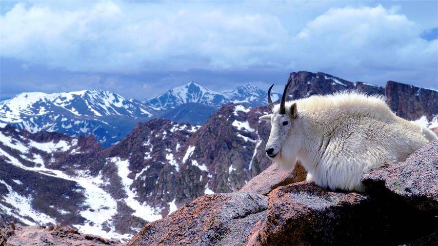 「シロイワヤギ」アメリカ, コロラド州