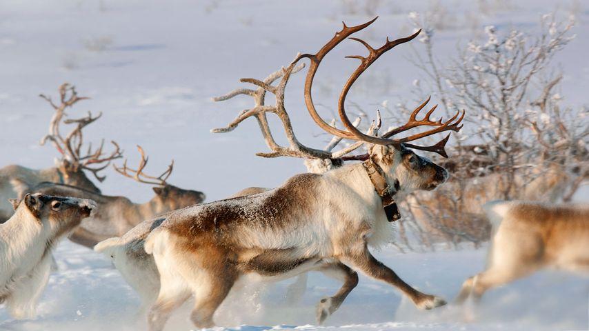「トナカイの群れ」ノルウェー, フィンマルク県, カラショーク
