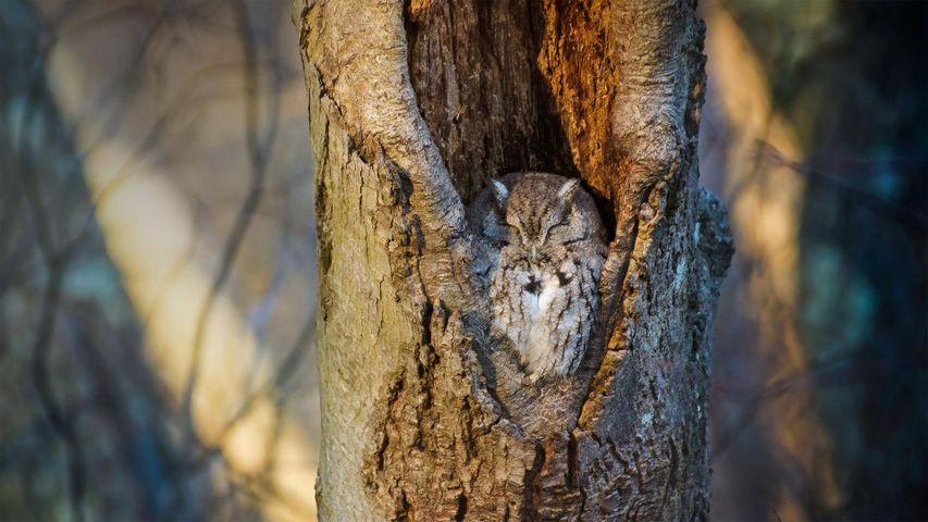 「お昼寝中のフクロウ」米国, ニューヨーク州