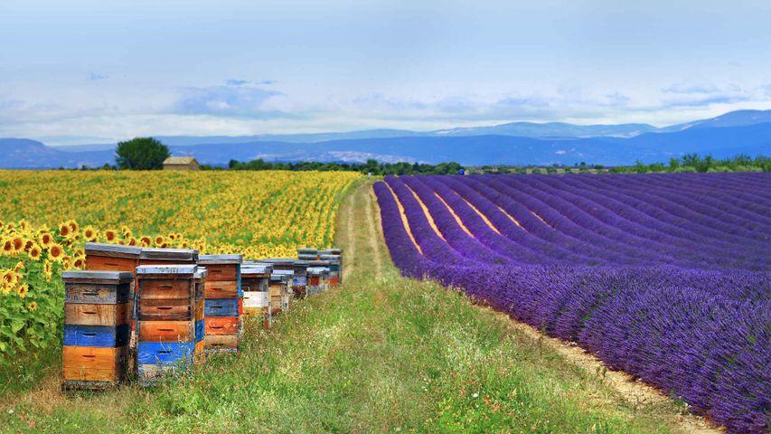 「ハチの巣箱とラベンダー、ヒマワリ畑」フランス, プロヴァンス