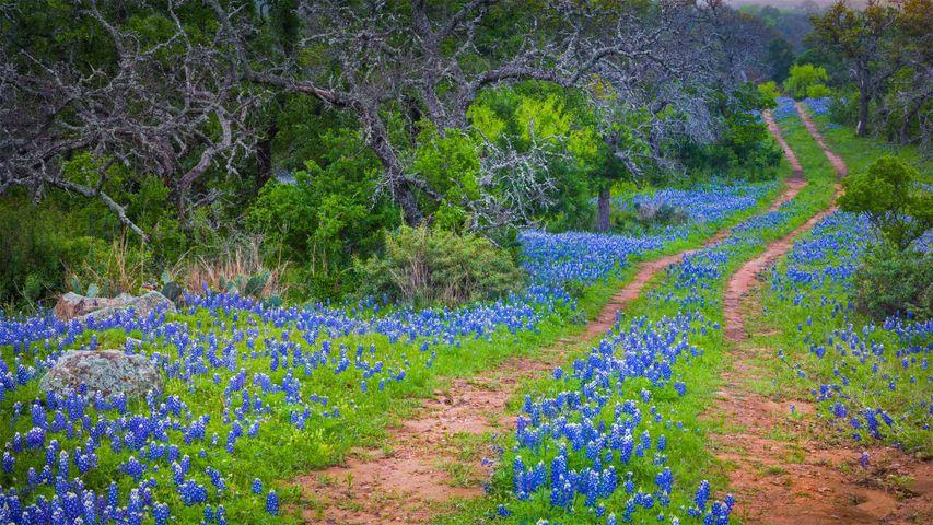 「テキサス・ブルーボネット」米国テキサス州, テキサス・ヒル・カントリー