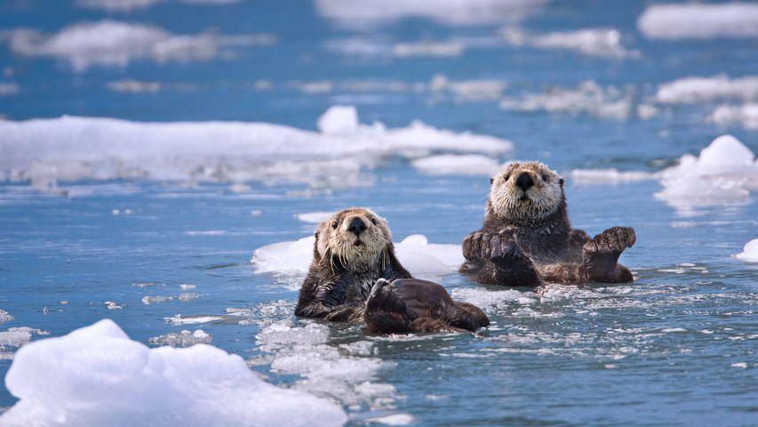 「プリンス・ウィリアム湾のラッコ」米国アラスカ州