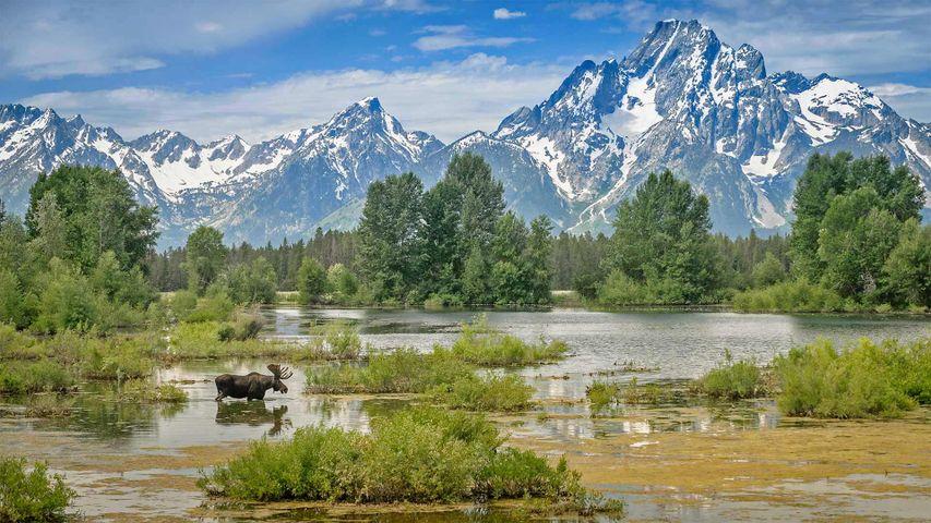 「グランドティトン国立公園のモラン山山麓の池を渡るヘラジカ」米国, ワイオミング州