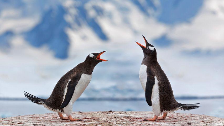 「ジェンツーペンギン」南極
