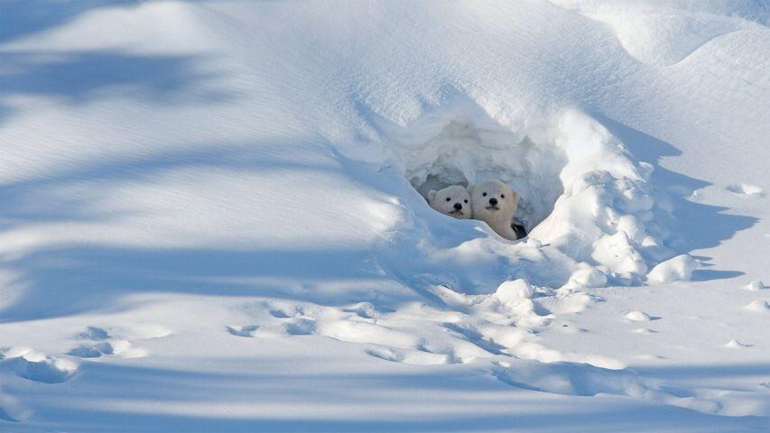 「雪洞に隠れるホッキョクグマの子どもたち」カナダ, マニトバ州