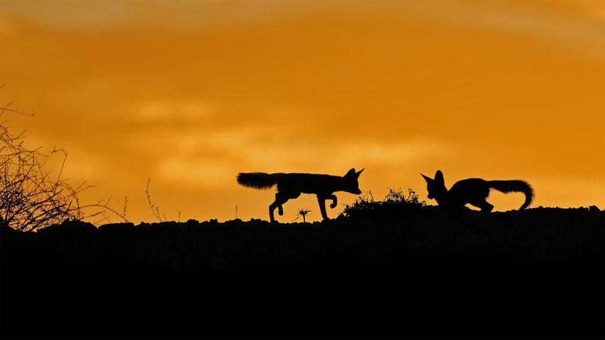 「ケープギツネ」南アフリカ, カラハリ砂漠
