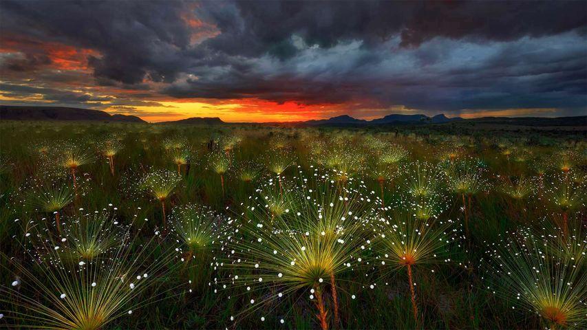 「パエパランツスの花」ブラジル, ヴェアデイロス平原国立公園