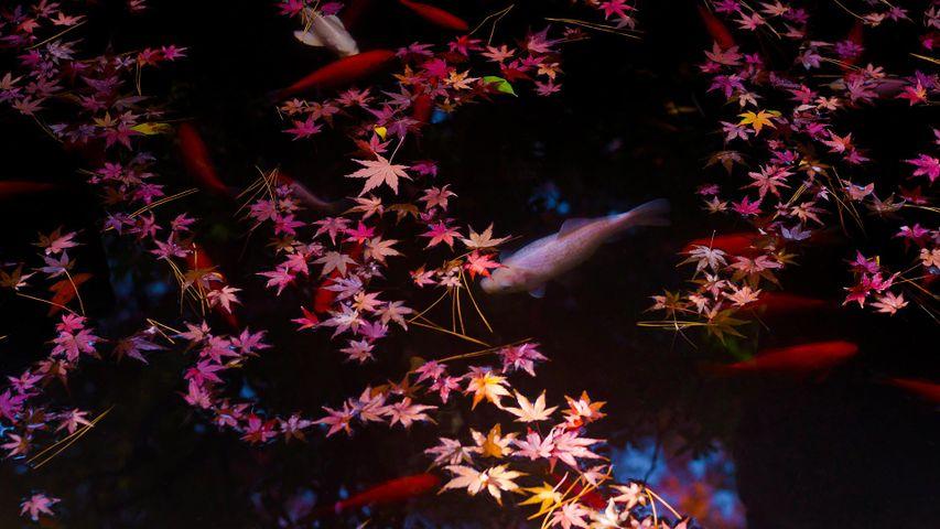 「紅葉とコイ」東京