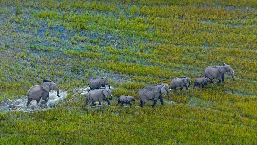 「アフリカゾウの群れ」ボツワナ, オカバンゴ・デルタ