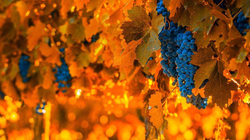 「ワイン用のぶどう」アルゼンチン, メンドーサ