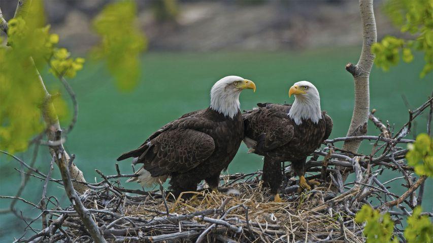 「ユーコン川そばの巣のハクトウワシ」カナダ, ユーコン州