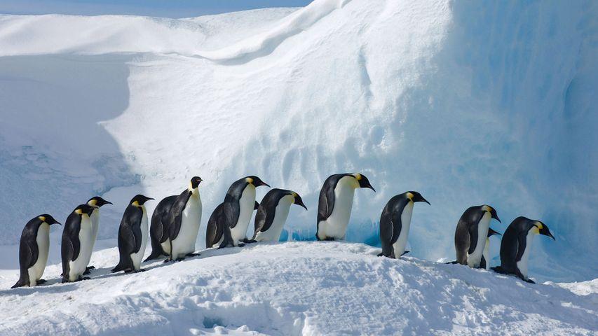 「コウテイペンギンの隊列」南極, スノー・ヒル島