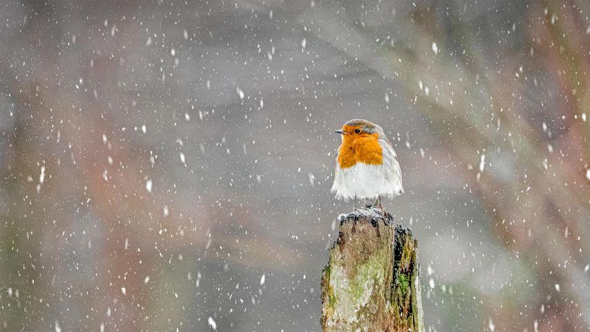 「吹雪の中のヨーロッパコマドリ」イギリス, ピークディストリクト国立公園