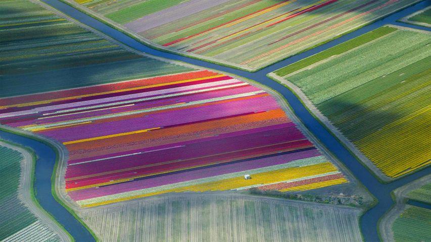 「チューリップ畑」オランダ, ボーレンストレーク