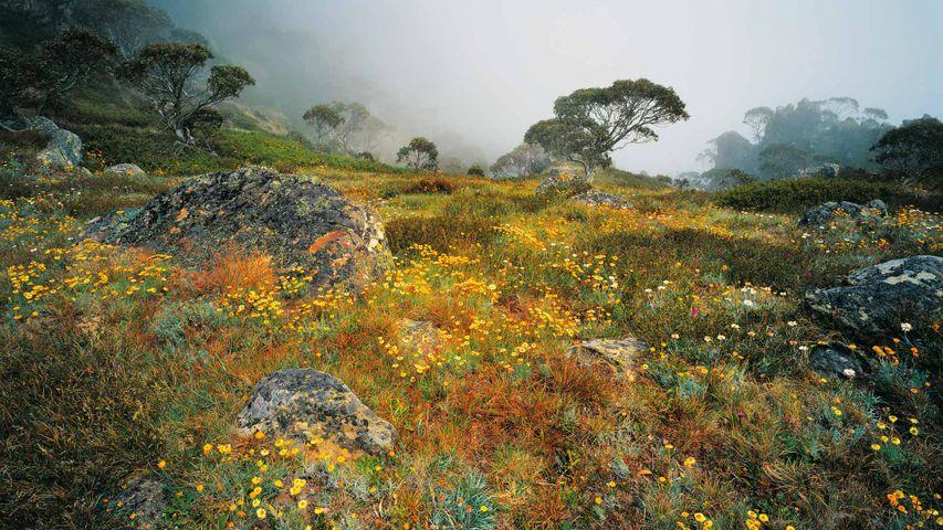 「ハウイット山の高山植物」オーストラリア, ビクトリア州
