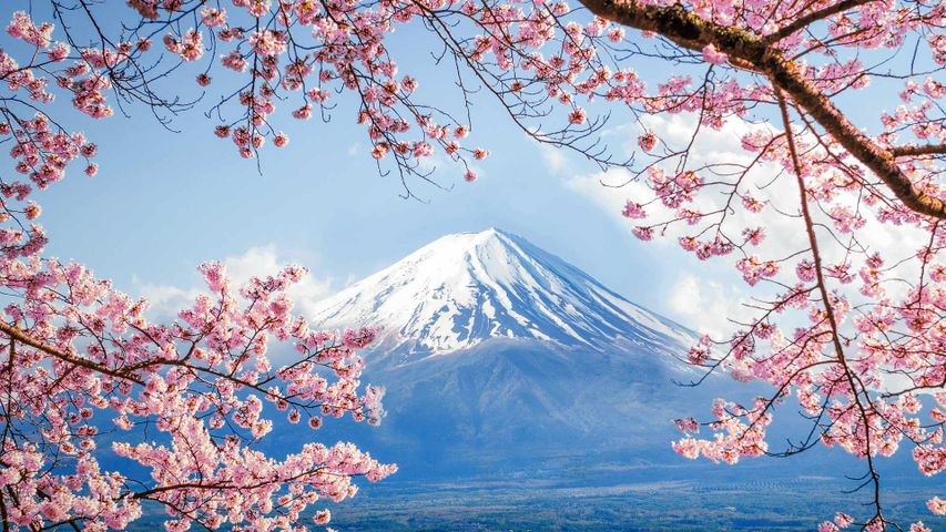 「富士山と桜」山梨, 河口湖