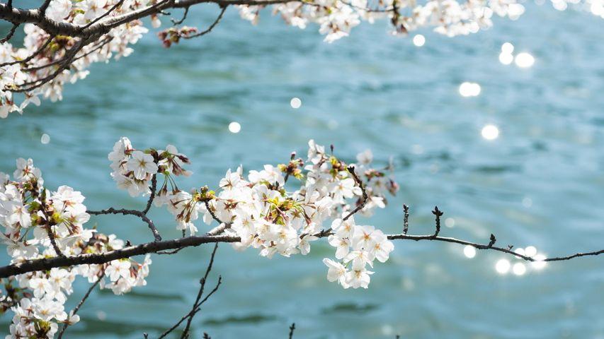 「川辺の桜」 大阪府