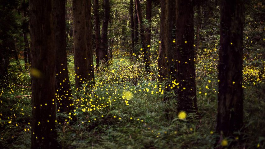「森の中のホタル」岡山, 岡山市