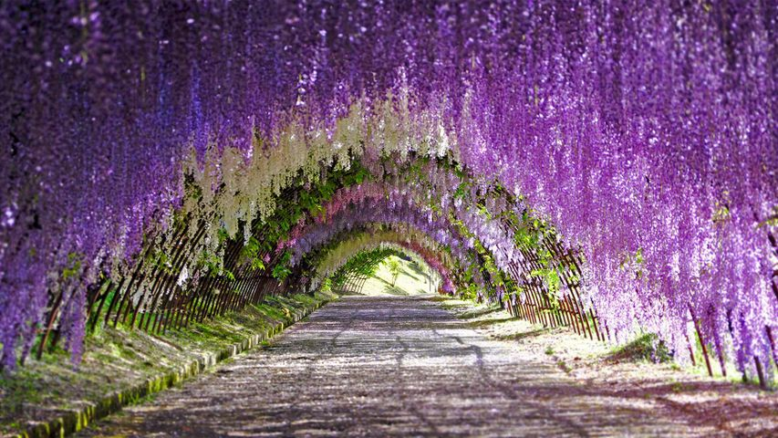 「藤のトンネル」福岡県, 北九州市, 河内藤園