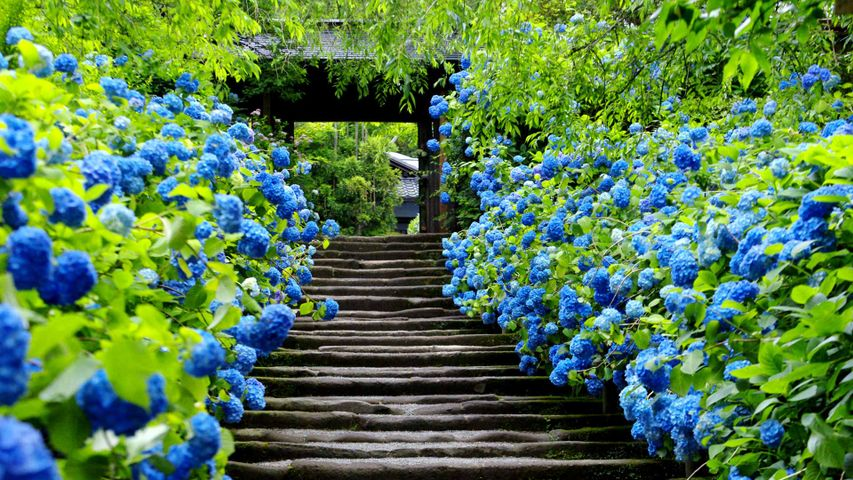 「明月院」神奈川, 鎌倉