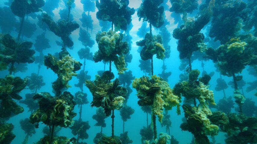 「垂下連で眠る牡蠣」石川, 能登半島