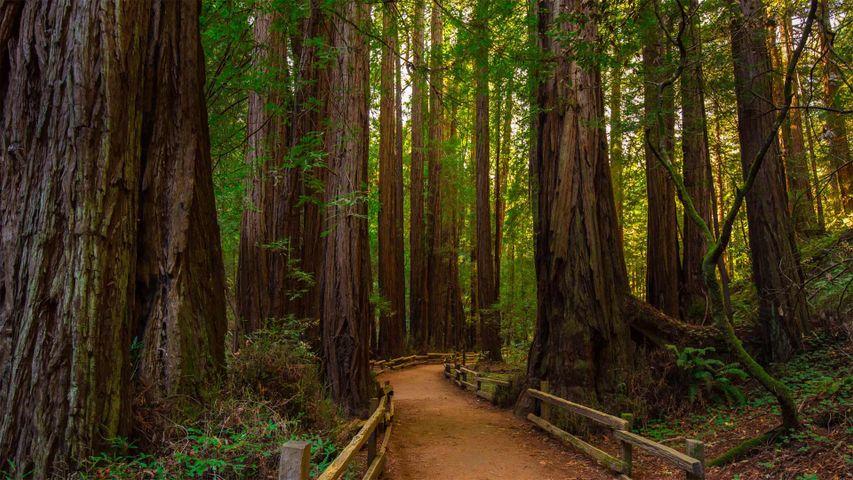 「ミュアウッズ国定記念公園」カリフォルニア, マリン郡