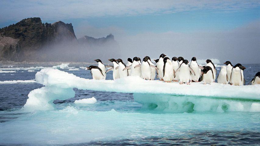 「アデリーペンギン」南極, ポゼッション島