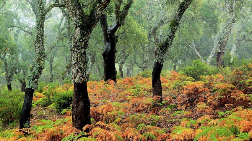 「コルクガシの森」スペイン, ロス・アルコルノカレス自然公園