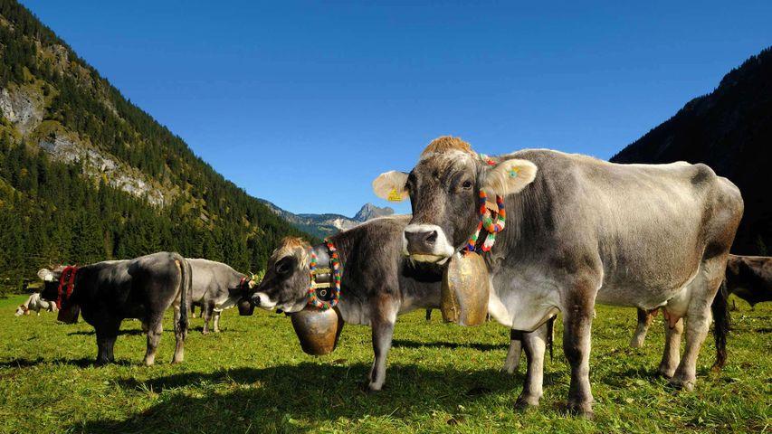 「牛追い祭りの飾りをした牛たち」オーストリア, タンハイマー・タール