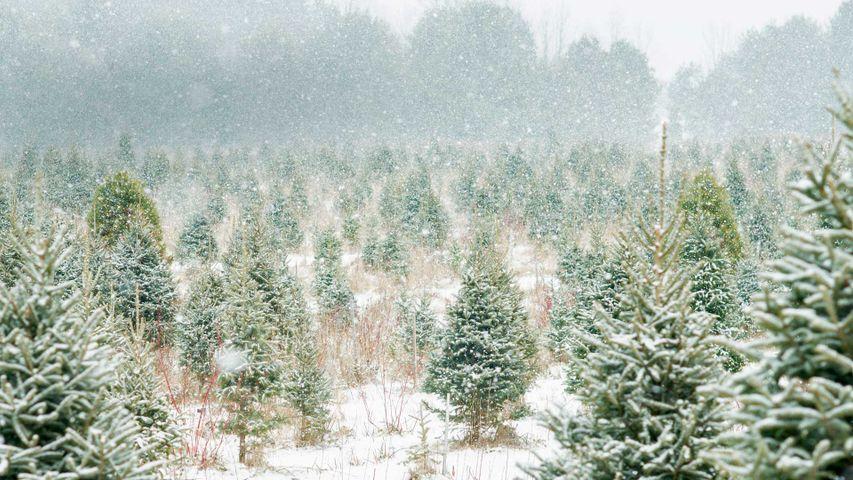 「クリスマスツリー農場」カナダ, オンタリオ州