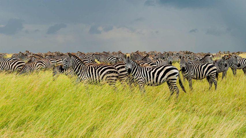 「サバンナシマウマの群れ」タンザニア, セレンゲティ国立公園