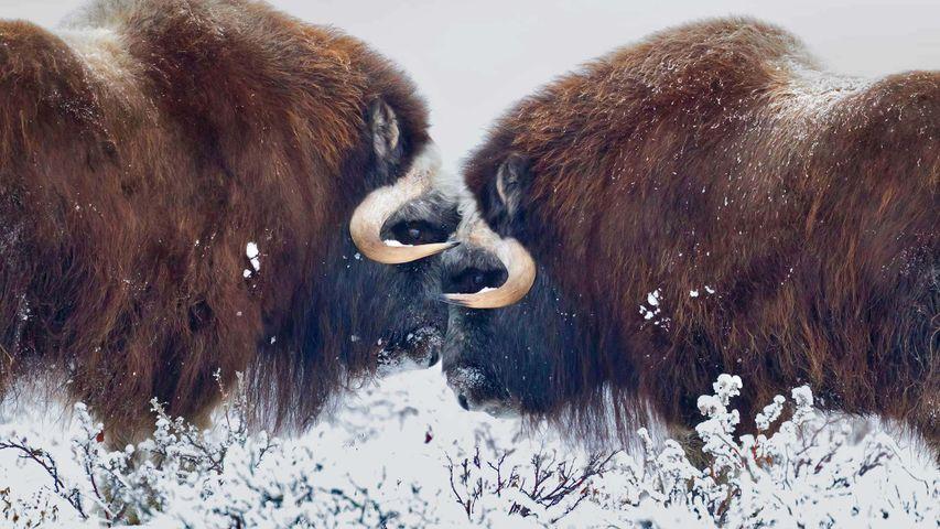 「ジャコウウシ」米国アラスカ州, プルドー湾
