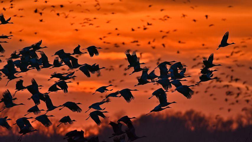 「カナダヅルの群れ」米国ネブラスカ州, プラット川