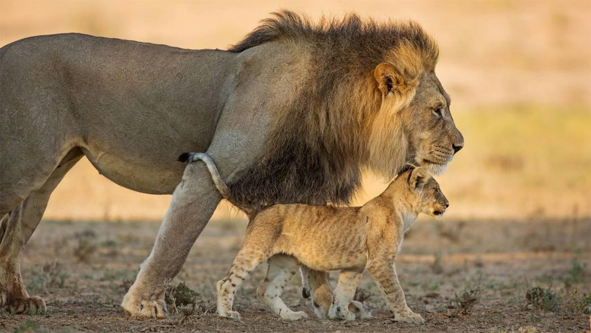 「アフリカライオンの父子」南アフリカ, カラハリ・トランスフロンティア公園