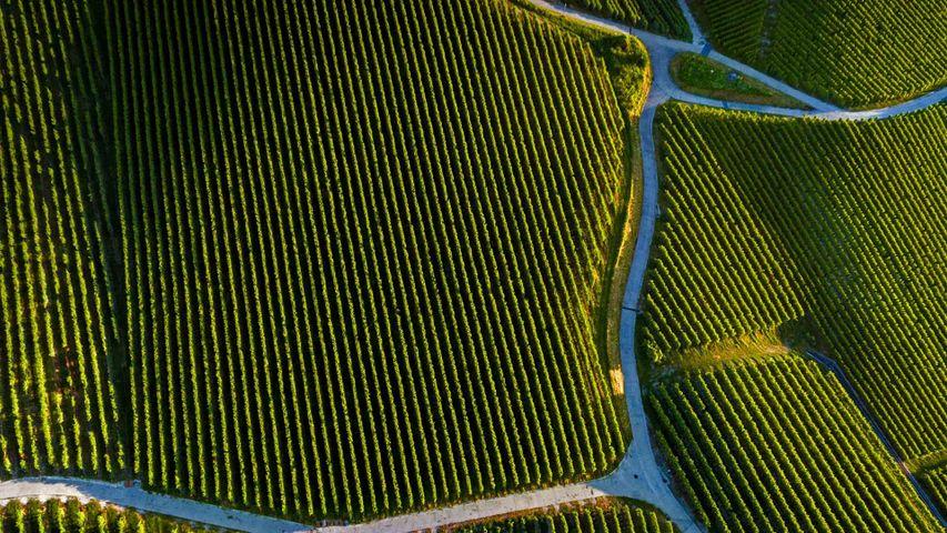 「ピュリーのワインヤード」スイス、ヴォー州