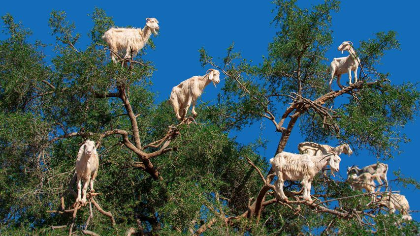 「アルガンの木に登るヤギ」モロッコ, エッサウィラ