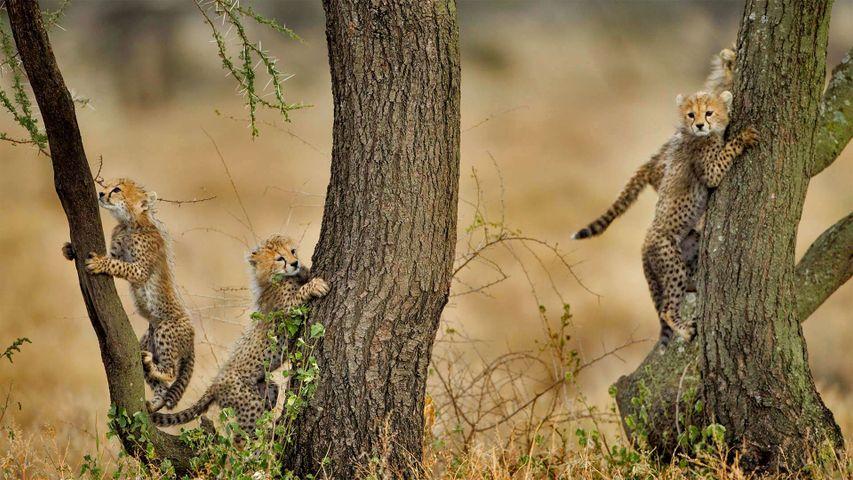 「アカシアの木に登るチーターの子どもたち」タンザニア, ンゴロンゴロ保全地域