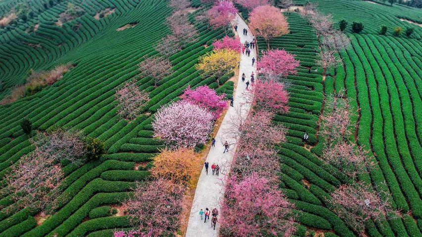 「永福桜花園」中国, 福建省